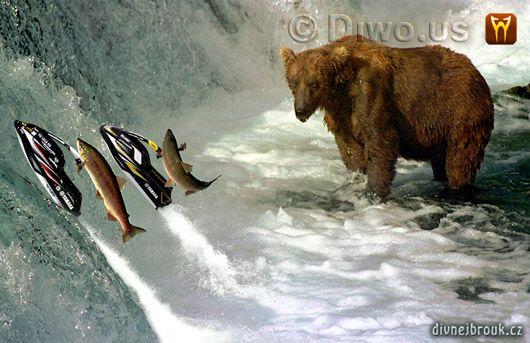 Divnej Brouk - Salmoni vyjebali s medvědem, losos, kodiak, Aljaška, lov ryb, řeka, vodopád, vodní skůtr skok, Kodiak Bear, Salmon, fishing, Alaska, Jet Ski Yamaha jump