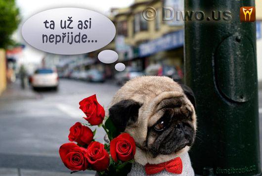 Divnej Brouk - smutný pejsek - mops, kytice růží, pugét, pouliční lampa, ta už asi nepřijde... Nevydařené psí rande