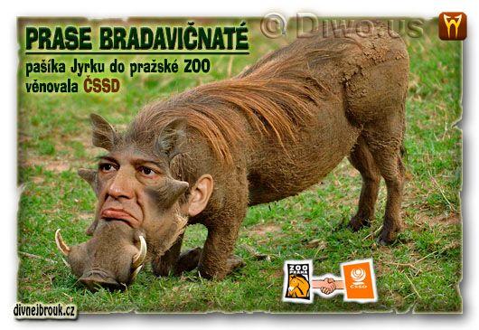 divnej brouk - Jiří Paroubek - prase bradavičnaté, ZOO Praha, ČSSD, pašík