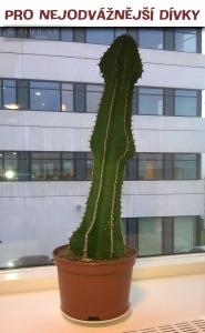 Diwous - Vibrátor Kaktus pro nejodvážnější dívky, humor, kuriozita, perverze, robertek, sex, sexuální pomůcky, vtip
