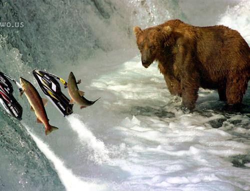 Lososi vyjebali s medvědem