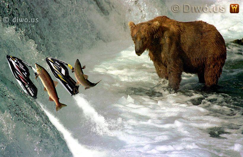 Diwous - Losos, hnědý medvěd, salmon, bear, jetski, vodní skútr, Yamaha, řeka, Brook, McNeil, Alaska, vodopád, řeka, Aljaška, Fuck Off, vtip, humor, National Geographic