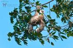 Diwous - Photography - Sloth (Three-Toed Sloth, Costa Rica, jungle, baby, tree, Lenochod tříprstý, Kostarika, džungle, strom)
